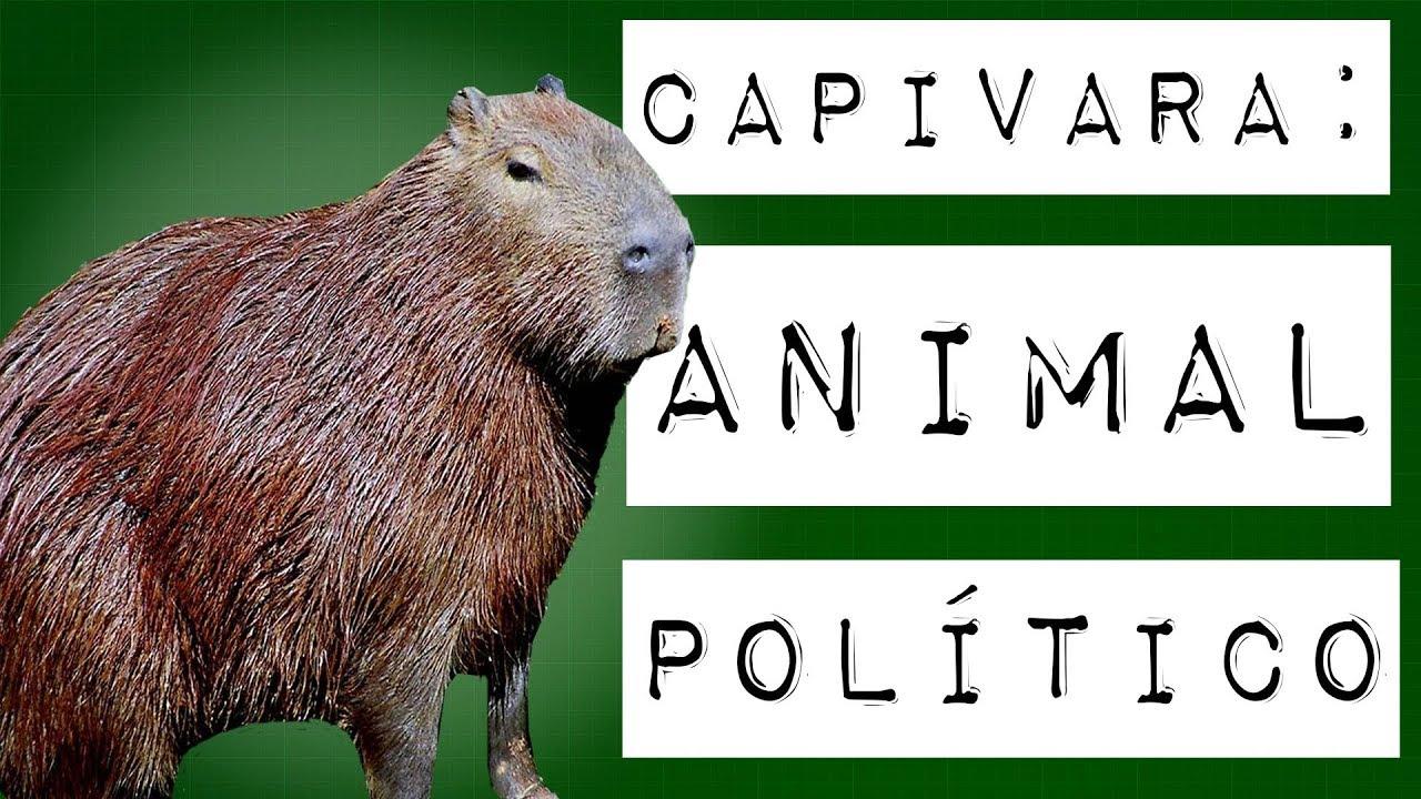 CAPIVARA: ANIMAL POLÍTICO #meteoro.exp
